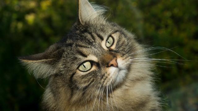 norwegian forest cat large cat breeds