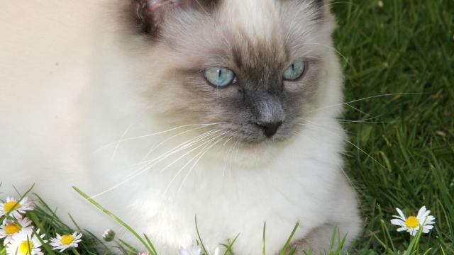 ragdoll cat large cat breeds