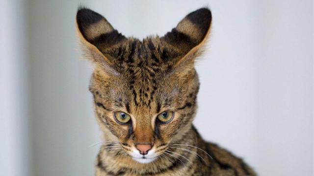 savannah cat large cat breeds