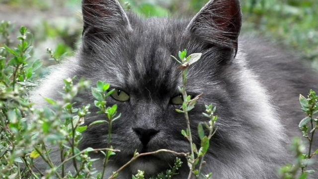siberian cat large cat breeds