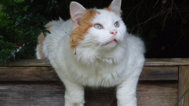 turkish van large cat breeds