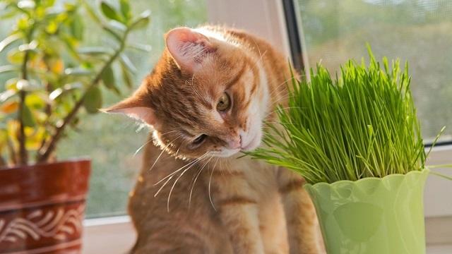 Is cat grass safe?