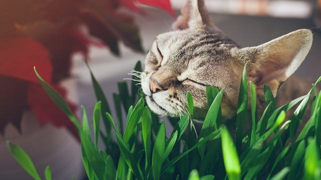 Cat Grass: Everything You Need To Know