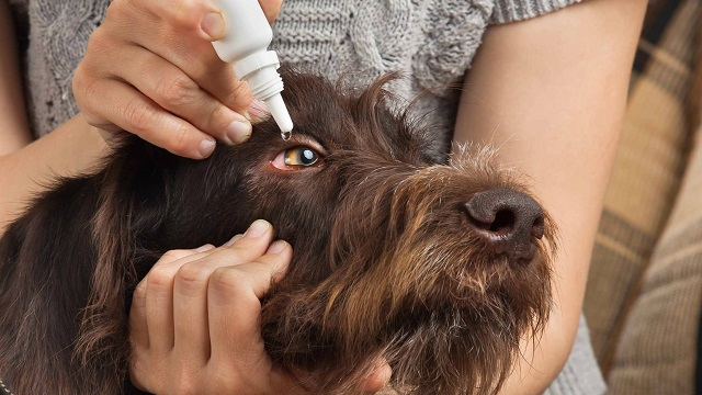 Dog conjunctivitis (pink eye) on dogs