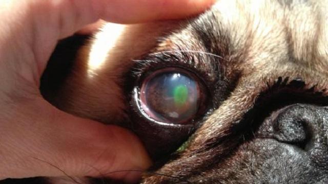 Keratoconjunctivitis Sicca on dogs