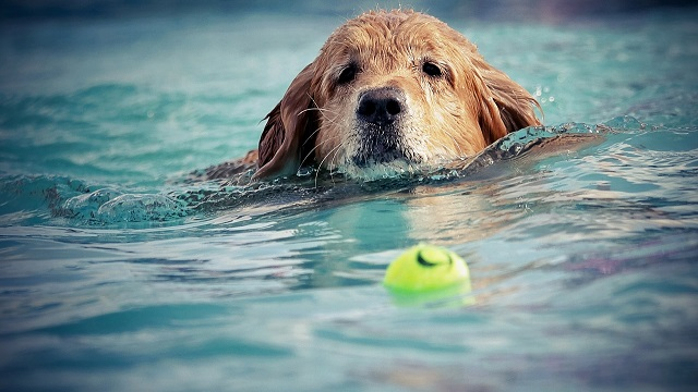 Dog swimming after tennis ball