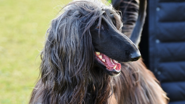 afghan hound fastest dog breeds