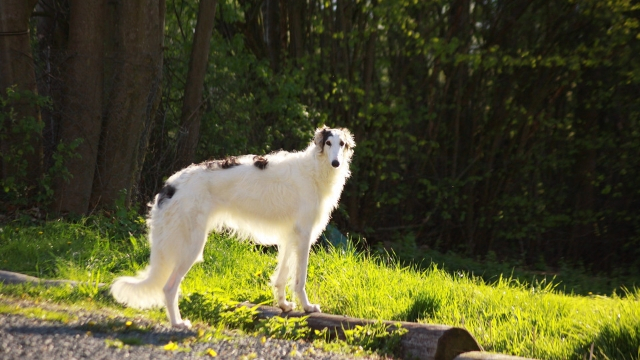 borzoi fastest dog breeds