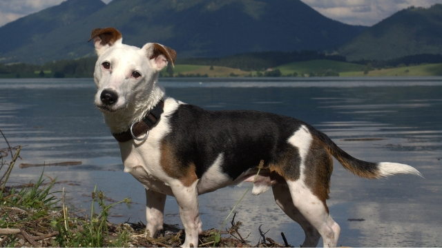 jack russell fastest dog breeds
