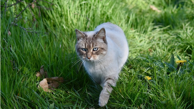 Cat Walking Safety Tips