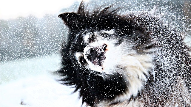 how to keep your pet warm double-coated breeds