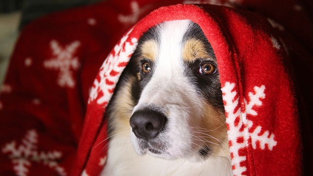 pet safety tips for christmas - help your pet cope with the chaos