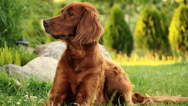 10 Irish Breeds You May Not Know About - Barking Out Loud, a blog by  Findster